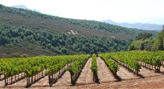 C - Cabernet Franc vineyard