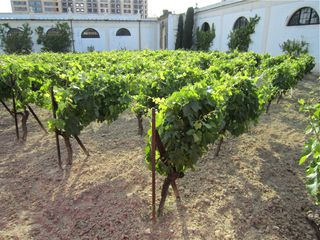 A- Jerez, Grapes growing