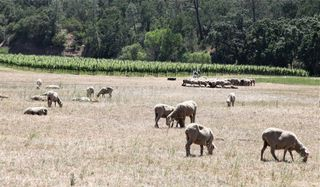 A - Somerston - grazing sheep and vineyard