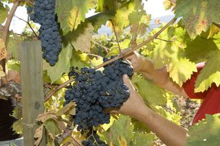 A - Tra Vigne- Charter Oak  Zinfandel on vine