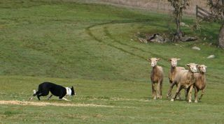 Collie and Sheep 2