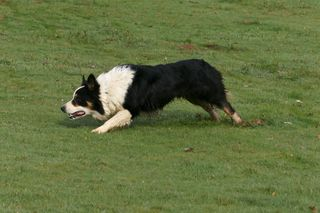 Collie slinking toward sheep