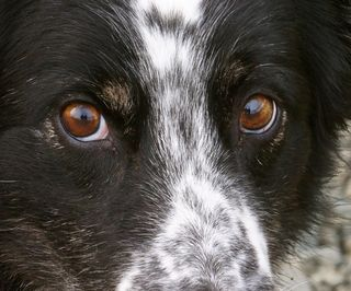 CU Collie eyes