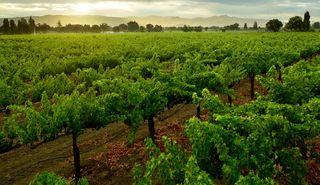 Bella Union Vines 3