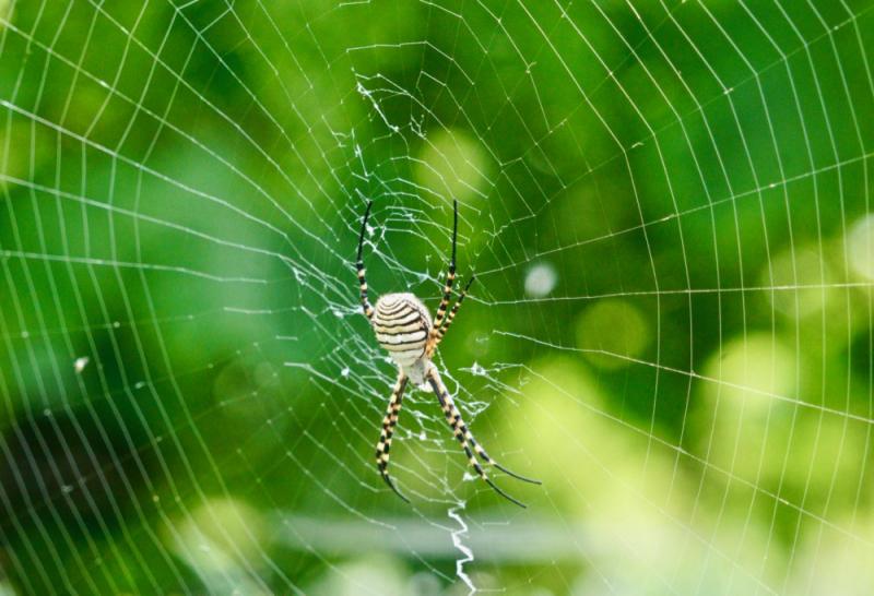 Spider in front of Malvasia vines
