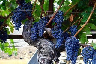 Map - CU Grape clusters