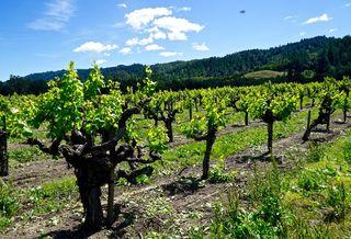 To Kalon I Block, 71 year old Sauvignon Blanc