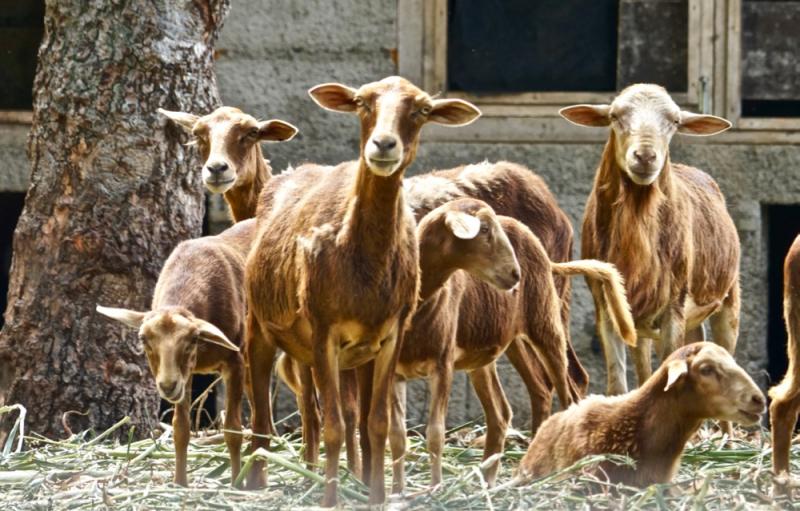 Goats  FDP
