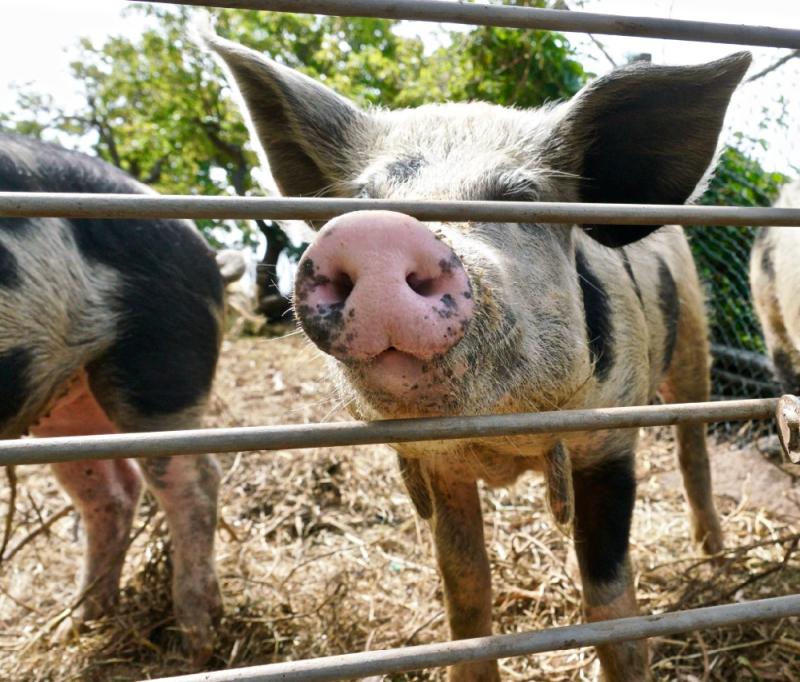 Pigs  FDP