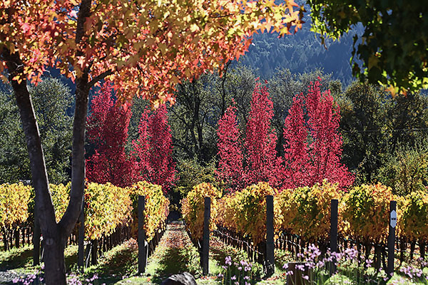 Fall colors  Napa Valley
